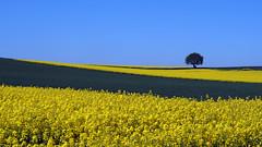 At the lonely tree (neya25) Tags: lonely tree einsamer baum rapeseedflowers raps rape yellowgreen yellow green grn gelb blue blau olympusomdem10 mzuiko 45mm lower saxony