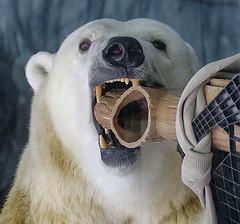 Olympic spirit # 7 (ucumari photography) Tags: ucumariphotography anana polarbear ursusmaritimus oso bear animal mammal nc north carolina zoo osopolar ourspolaire oursblanc eisbr sbjrn orsopolare  olympics dsc9512 july 2016