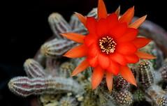 flower 694 (kaifudo) Tags: flower japan 50mm sapporo nikon hokkaido sigma v3  botanicalgarden  cactusflower ft1  nikon1  sigma50mmf14art