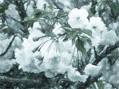 Spring Blossom (Steve Taylor (Photography)) Tags: newzealand white flower tree green art texture leaves digital grey spring flora blossom nelson nz southisland