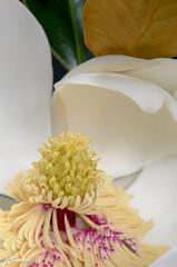 Little Gem Magnolia (tookephoto) Tags: white flower macro closeup nikon texas micro bloom magnolia nikkor coppell stateflower 2016 105mmf28 littlegem d7000