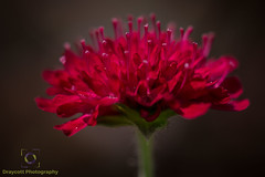 Red flower full side.jpg (Draycott Photography) Tags: staffordshire draycottphotography canon canon70d 70d draycottintheclay draycott macro macrophotography macrolens flower flowers colour color colourful nature naturebest garden gardenflowers