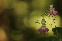 Che fiore ? (SimonaPolp) Tags: flowers summer sun green nature canon estate bokeh july natura fiori sole luglio bosca 16072016