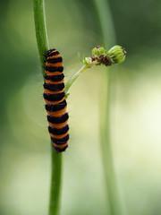 burning bright (mark.griffin52) Tags: olympusem5 england gloucestershire southcerney wildlife nature insect larvae caterpillar cinnabarmoth