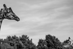 Girafes, zoo de Cerza (Pierre Fauquemberg) Tags: pierrefauquemberg parc zoo parczoologique cerza photographieanimalire nikond750 tamron7020028 tamron70200f28 tamron filtre hoya polarisant hermivallesvaux paysdauge animaux animal animalier faune girafe afrique noiretblanc blackandwhite blackandwhitephotography monochrome