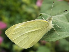 Small White (Explored!) (martindove) Tags: butterfly small white nature wildlife lepidoptera