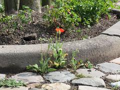 ckuchem-0400 (christine_kuchem) Tags: wild rot wasser steine stadt grn ufer blte mohn kopfsteinpflaster pflasterstein stadtgrn kopfstein wachsen begrnung ziwschen wildpflanze wildwuchs feldblume