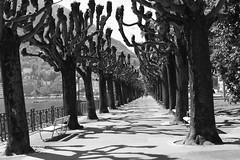 Lungolago Lugano (AmericanCowgirl95) Tags: lugano ticino switzerland ceresio lake longlake bw tree