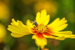 KA-POW (Jazzmatica) Tags: coreopsis kapow golden yellow daffodils snowdrops jrs gallery colour color beautiful bright sunny light gorgeous photograph red blue green multi coloured geotagged tags tagged photo blinkagain photographs lovely pretty award interesting interestingness beauty nature sky vibrant unusual amazing wild wildlife photography countryside artistic bokeh creative excellence exotic explore garden blooms blossom climber cottage fauna flora floral flower flowering flowers perennial petals pink plant pollen season shrub soft spring summer white wildflower winter colorphotoaward