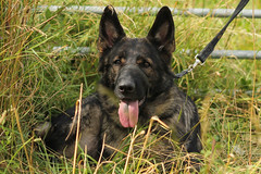 Marley (christina.marsh25) Tags: marley gsd germanshepherd alsatian dog