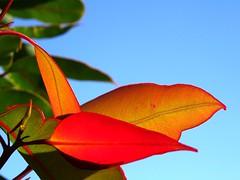 New growth (enjosmith) Tags: backlight sky blue leaf red