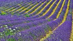 I colori della Provenza  viola come la lavanda (miriam ulivi) Tags: nature viola francia provenza lavanda nikond3200 valensole miriamulivi
