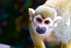 Hey... take a closeup (Johnnyvacc) Tags: monkey closeup primate canon puntacana