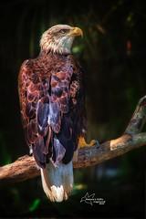 Bald Eagle (*~ Nature's Gifts Captured  ~*) Tags: baldeagle eagle bird tamihrycak naturesgiftscaptured nikond4s wildlife naturephotography creative photoshop florida birdphotography raptor predator hawk specanimal