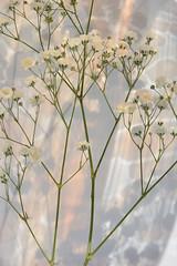 Impression (LidyvN) Tags: sprig twig red impression light hydrangea flower color