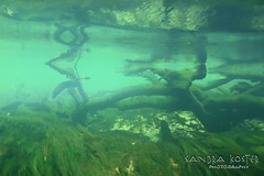 IMG_5959 (2) (SantaFeSandy) Tags: giant snapper turtle cave diving sinks lafayette blue springs state park sandrakosterphotography sandrakosterphotographycom sandykoster sandy sandra santafesandysandrakosterphotographycom sandrakoster algae green sink stevens 1 snake