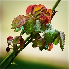 Leaves (Nightgoose) Tags: fujinonxf100400mmf4556rlmoiswr fujifilmxt1 captureone fujifilmmcex16 folha leaf gota drop rain chuva