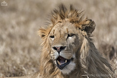 Leone, Lion, Panthera leo (paolo.gislimberti) Tags: tanzania ngorongoro africanmammals felini felines mammiferiafricani predatori predators carnivori flesheatinganimals bigfive ritrattoanimale animalportrait