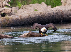 Riverbend BG River flight #1 07-31-2016 (jonathan.pratt14) Tags: haliaeetusleucocephalus americanbaldeagle adultbaldeagle baldeagle nikond3 sigma150600mmf563 raptor washingtonstate wildlifephotography riverbendeagles birdofprey