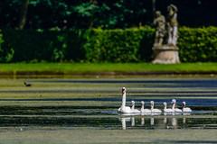 Mute swan (Cygnus olor) (Andrea Bovolo) Tags: cigno swan mute cygnus olor waterfowl anatidae cygnets reale nikon d7100 sigma 150600 sport bird vogel birdwatching family nature