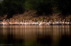 Flock of Rosy Pelicans (Pelecanus onocrotalus) (mihir_dhandha) Tags: rosypelican flockofbirds pelecanusonocrotalus greatwhitepelicans reflection birdphotography wildlifephotography birds whitebirds canoneos7d canonkitlens