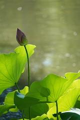 Lotus flower (JPShen) Tags: water pond bokeh flower lotusflower