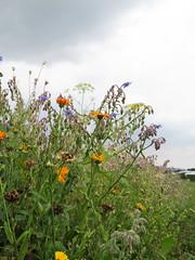 ckuchem-3090 (christine_kuchem) Tags: ackerrand bienenfreund bienenweide blumen blhstreifen feld felder klee landwirtschaft schmetterlingsbltler vogelschutz wiesenblume