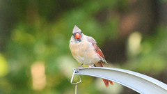 Here's Looking at You (blazer8696) Tags: 2016 brookfield ct connecticut ecw obtusehill t2016 usa unitedstates cardinal cardinalis cardinaliscardinalis female img1157 northern northerncardinal passeriformes