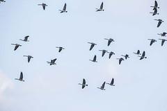CANADA GEESE (nsxbirder) Tags: canadagoose brantacanadensis clarksville ohio cowanlake
