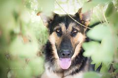 Hola Bal (Alessandra Favetto Photography) Tags: dog dogs dogphotography dogphotographer dogportrait pet pets petphotography petphotographer color outdoors horizontal