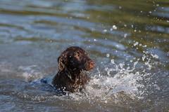 Zazou loves to play in the water ... (Alex Verweij) Tags: zazou retreiver flatcoat