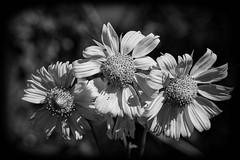 BW Trio (brev99) Tags: topazdenoise tamron70300vc d7100 flowers nikoutputsharpener bokeh blackandwhite dxofilmpack5 vignette