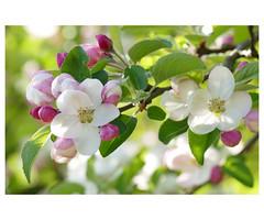 Apfelblüten - Apple blossom - リンゴの花 (steffi's) Tags: appleblossom apfelblüten