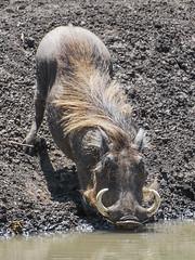 Aiming through teeth to drink water - Vlakvark (Warthog) (hunkpretorius) Tags: warthog nikond60 vlakvark mapungubwe