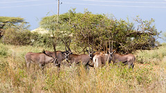 Oryx beisa, Awash National Park (jeanotr) Tags: wildlife ethiopia oryx awash awashnationalpark oryxbeisa eastafricanoryx