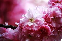 Pink (F@bio F.) Tags: pink flowers flower color macro primavera nature colors spring colore rosa fiore colori fiorito