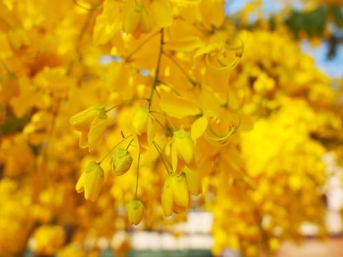金黄的皂荚树花