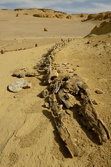 deep in the sea ... (pranav_seth) Tags: fossil egypt unesco bones whales skeletons unescoworldheritage fossils archaelogy basilosaurus fayoum archaelogical fayyum wadialhitan archaeoceti ancientwhales extinctwhales