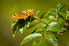 Comma Butterfly (hutchyp) Tags: nature butterfly insect wildlife reserve hampshire comma swanwick hiwwt