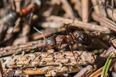 BWI3_159_12. April 2015 (wilfriedpförtsch) Tags: umwelt formicarufa rotewaldameise hautfluegler insektspinne ultratagproc20062013coolcolours ultratagpro401de reichdertiere