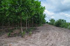 "GWD Forestry - Brazil Images (White Teak) <a style=""margin-left:10px; font-size:0.8em;"" href=""http://www.flickr.com/photos/47172958@N02/17130620046/"" target=""_blank"">@flickr</a>"