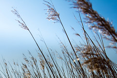 Reed (Helldin) Tags: strand hamburg gras elbe grauerort