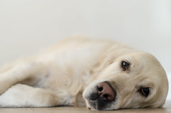 p365/112. (Pics by Susanna) Tags: morning light dog goldenretriever golden floor bored boredom tired lay day112 laying dogportrait dogeyes day112365 365the2015edition 3652015 22apr15
