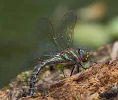 Swamp Darner Ovipositing (Bonnie Ott) Tags: dragonfly patuxent odonata odonate patuxentnationalwildliferefuge swampdarner epiaeschnaheros