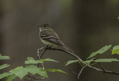 Acadian Flycatcher In Shade (Odonata457) Tags: county anne maryland research acadian arundel patuxent refuge flycatcher empidonaxvirescens