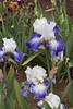 IMGL7265 (ppodaras40) Tags: iris nursery tall bearded sebright