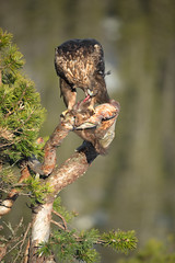 Golden Eagle (Andy_Astbury) Tags: winter wild food brown bird feet yellow norway dead death close feeding wing feather raptor perched hunter strength prey predator scandinavia majestic powerful survival hold regal goldeneagle birdofprey carnivore predate pinemarten talons grasp overpower overwhelm kingeagle coldtemperature apexpredator