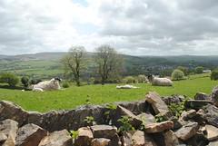 Lying down lambs (zawtowers) Tags: trees sky sunshine stone wall climb countryside spring scenery babies sheep walk hill scenic may dry sunny down lamb lying relaxed 2015 marplebridgetonewmillswalk
