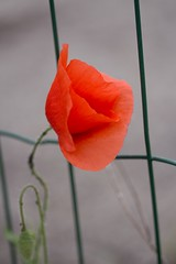 La belle en rouge / Beauty in red (Gisou68Fr) Tags: red fence rouge poppy coquelicot grillage clture fencefriday