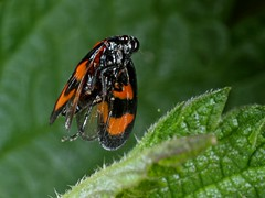 Rolf_Nagel-Fl-9073-Cercopis_vulnerata (Insektenflug) Tags: cercopisvulnerata cercopis vulnerata blackandredfroghopper froghopper blutzikade blodcikade leafhopper cicade flight fliegend im takeoff wildlife airborne entomology freilebend highspeed nature insects flying wilhelmshaven blitz deutschland entomologie european fauna fliegen flug germany insectinflight insekt insekten insektenflug kurzzeitfotografie zikade zoologie insect imflug inflight minoltaerokkor75mm erokkor minolta rokkor 75mm envole en vole